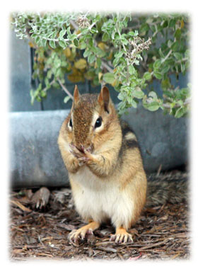 Chipmunk not talking Greeting Card