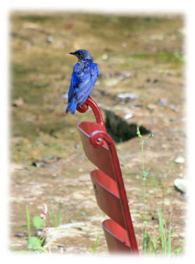 A blue bird sitting on red chair Greeting Card