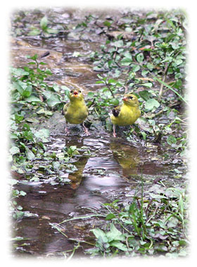 Two Birds Chirping  Greeting Card
