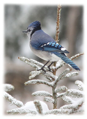 Blue jay in tree  ... Greeting Card