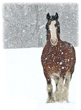A horse in a snow storm ... Greeting Card