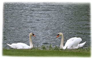 Two Swans ... Greeting Card