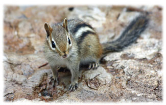 Chipmunk on a rock ... Greeting Card