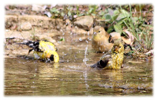 Birds taking a bath ... Greeting Card