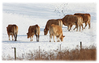 Cows in a field ... Greeting Card