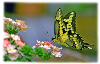 Yellow Butterfly ... Greeting Card