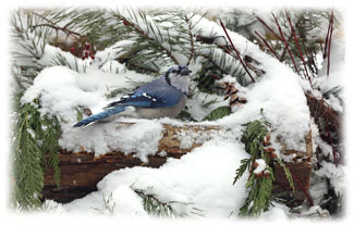 Blue bird in snow ... Greeting Card