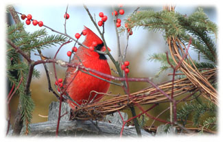 Male Robbin ... Greeting Card