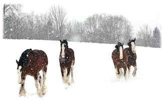 Horses in a snowy field ... Greeting Card