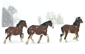 Three Horses Running  ... Greeting Card